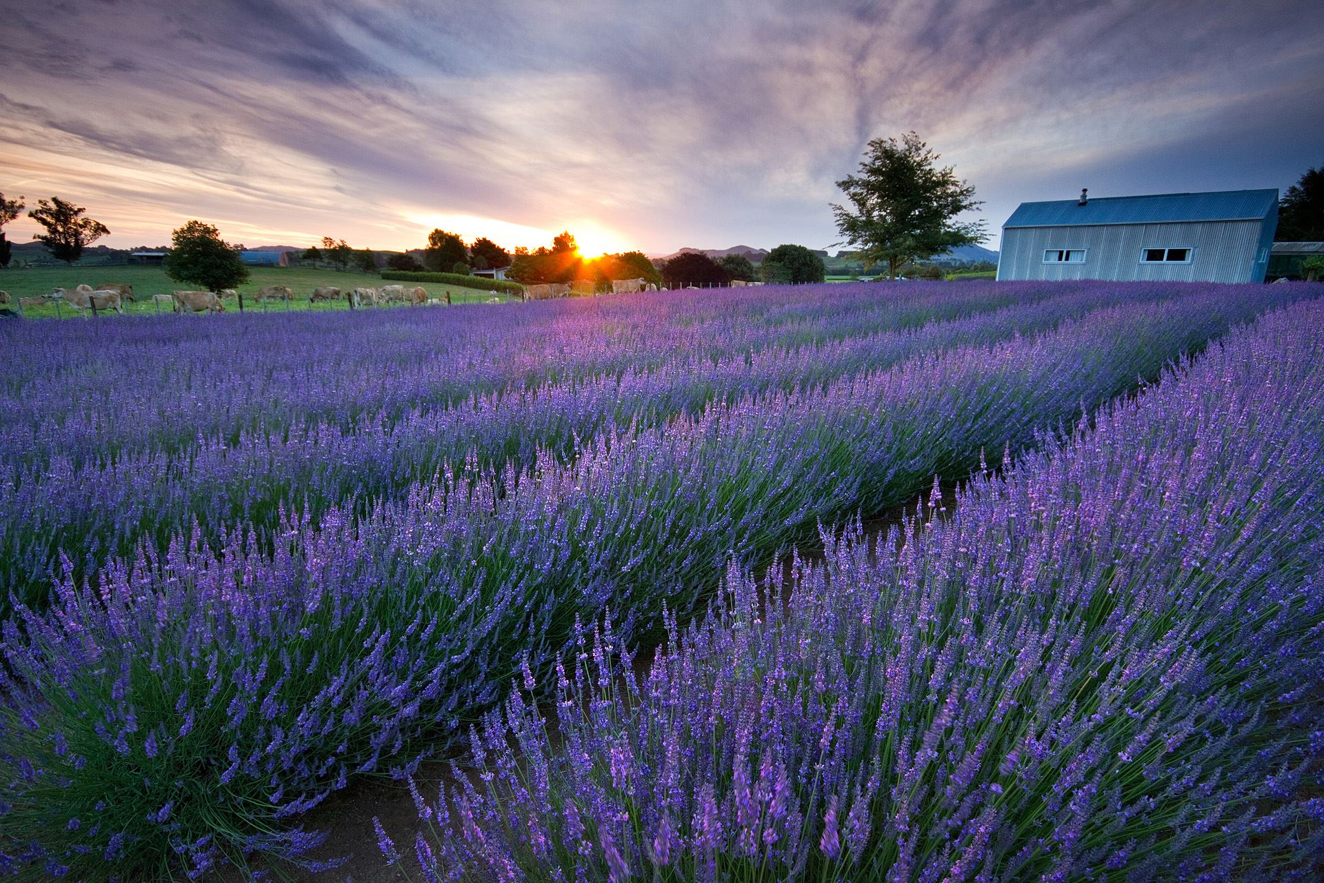 Alphra Lavender Farm Dawn