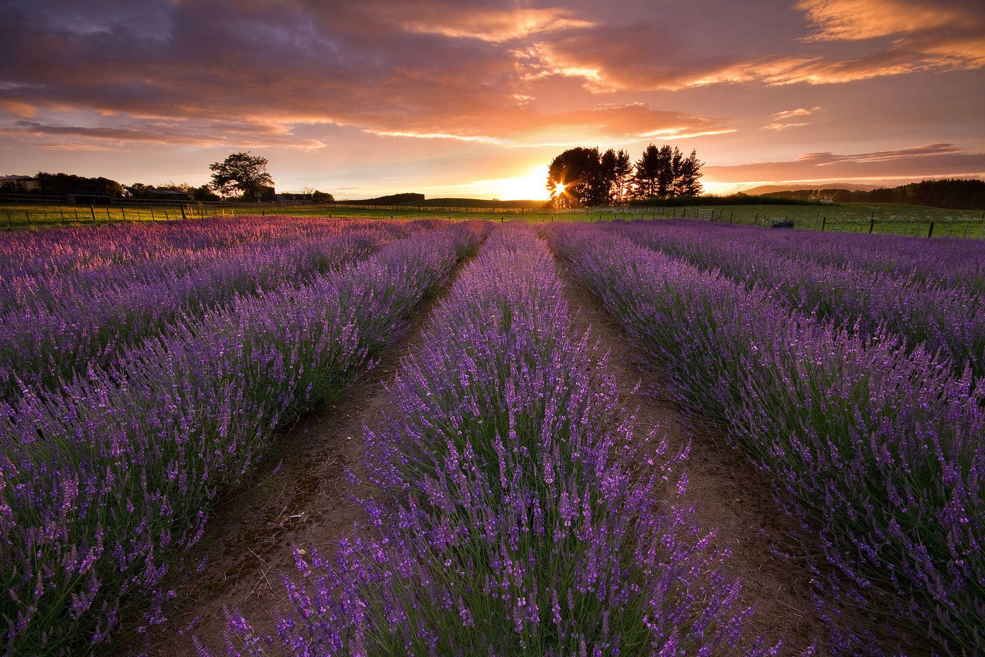 Alphra Lavender Farm Ablaze