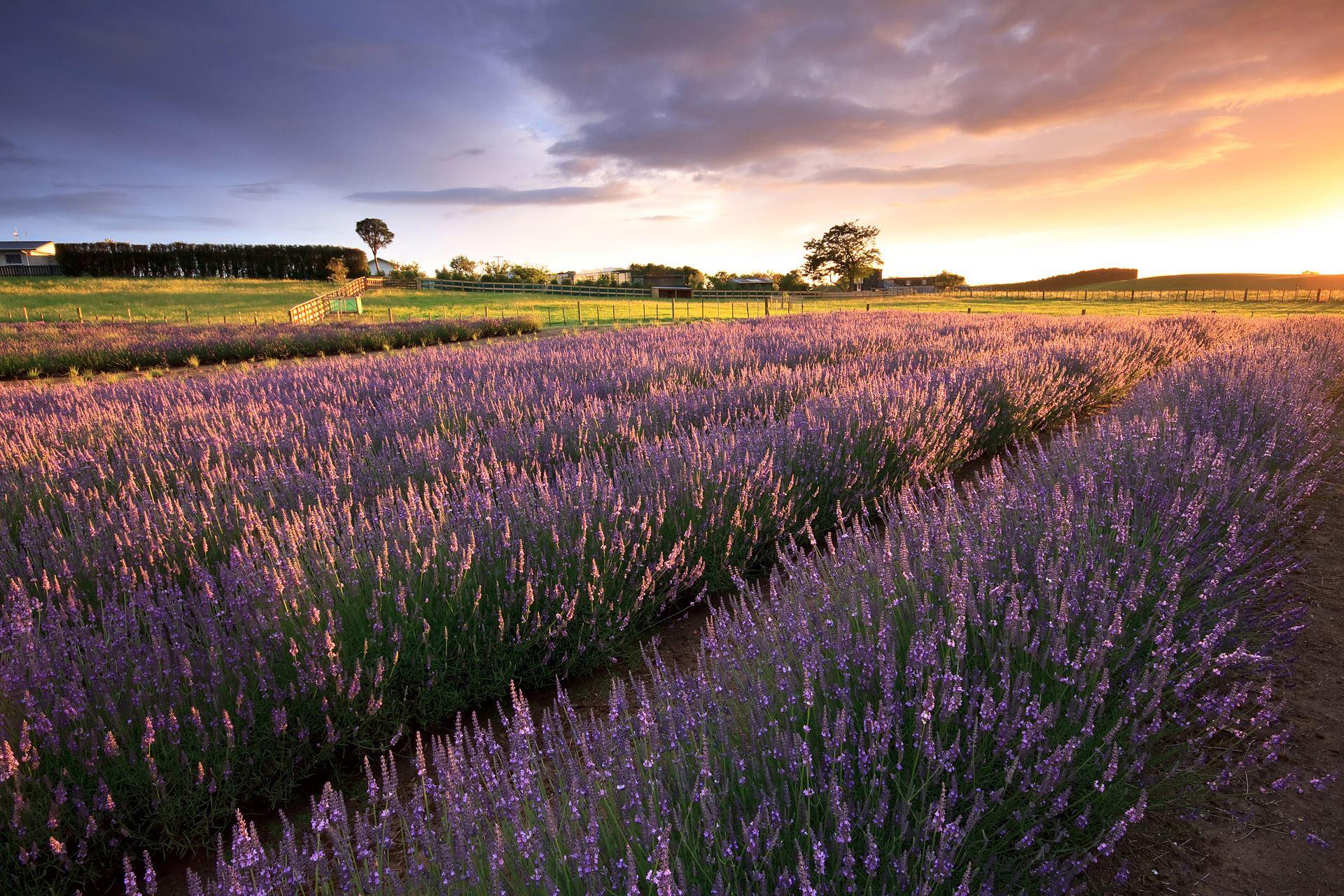 Alphra Lavender Farm Sunrise 2