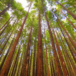 Amongst The Redwoods